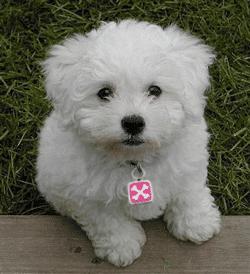 Toy_Poodle-cross-bones-pink